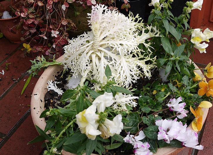 大きい鉢に植え替えた花が雪で折れた2.jpg