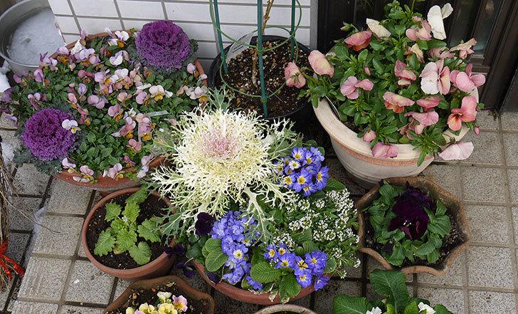 大きい鉢に植え替えた花が雪で折れた3.jpg
