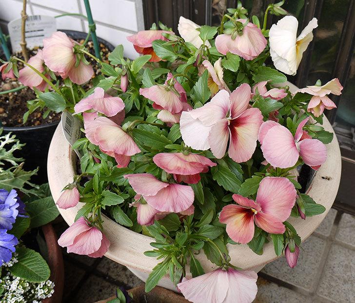 大きい鉢に植え替えた花が雪で折れた4.jpg