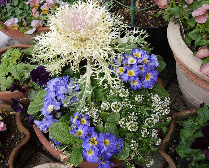 大きい鉢に植え替えた花が雪で折れた5.jpg