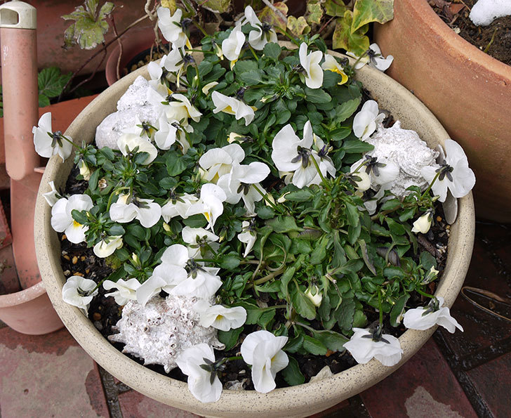大きい鉢に植え替えた花が雪で折れた6.jpg