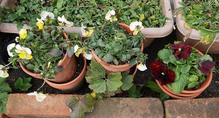 大きい鉢に植え替えた花が雪で折れた7.jpg