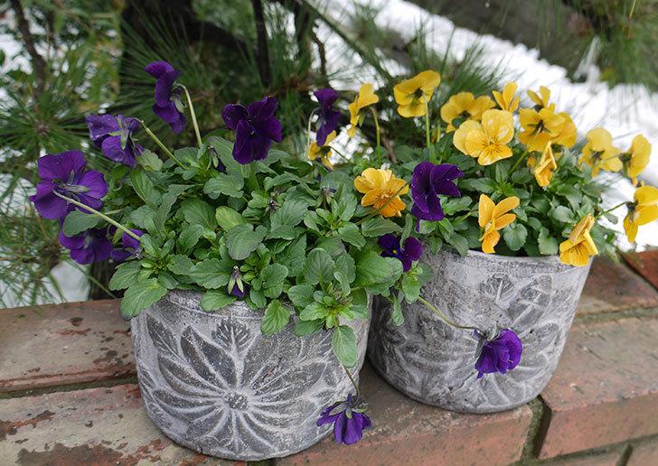 大きい鉢に植え替えた花が雪で折れた8.jpg