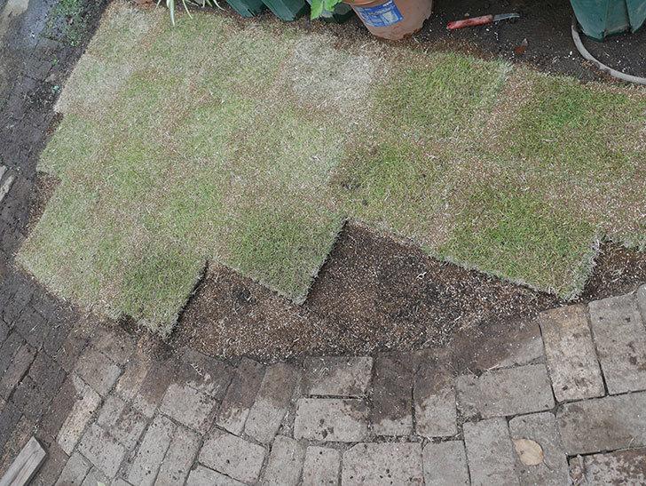 姫高麗芝生を植えた。2020年-1.jpg