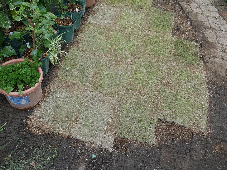 姫高麗芝生を植えた。2020年-10.jpg