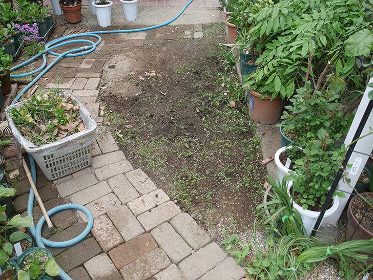 姫高麗芝生を植えた。2020年-11.jpg