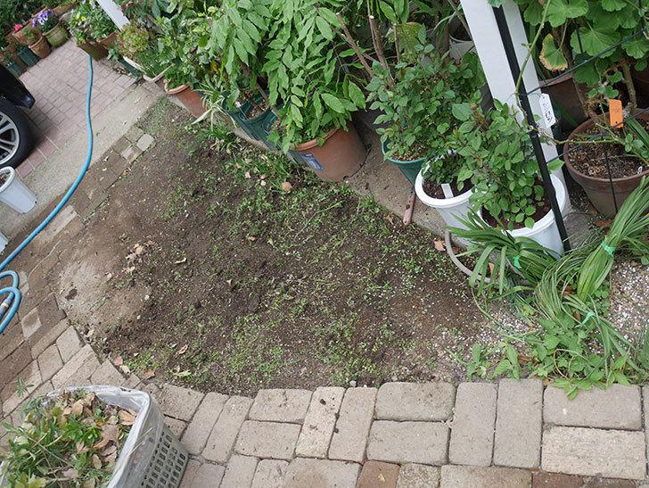 姫高麗芝生を植えた。2020年-12.jpg