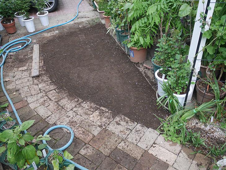 姫高麗芝生を植えた。2020年-13.jpg