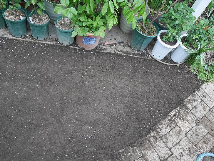 姫高麗芝生を植えた。2020年-15.jpg