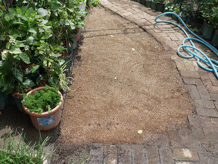 姫高麗芝生を植えた。2020年-2.jpg