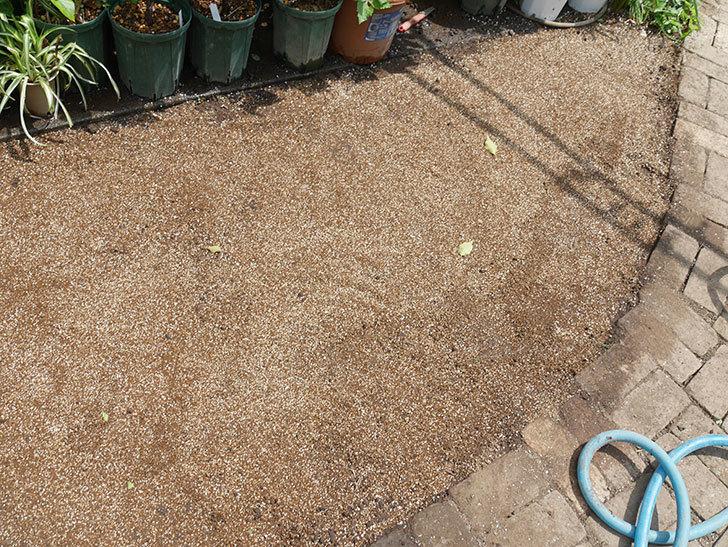 姫高麗芝生を植えた。2020年-3.jpg