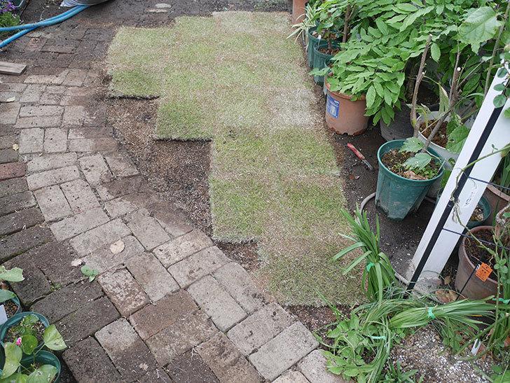 姫高麗芝生を植えた。2020年-5.jpg