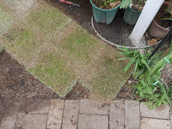 姫高麗芝生を植えた。2020年-6.jpg