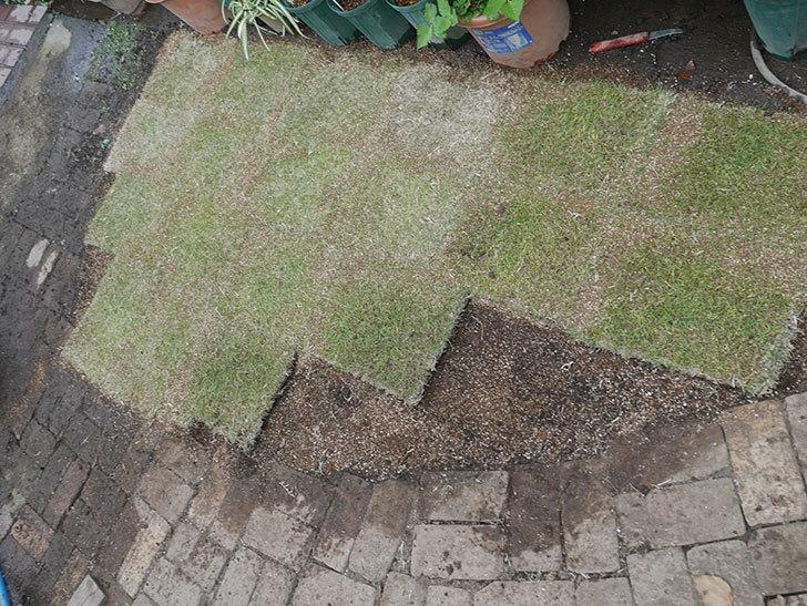 姫高麗芝生を植えた。2020年-7.jpg