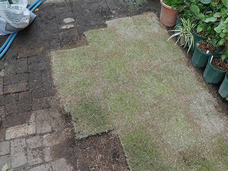 姫高麗芝生を植えた。2020年-8.jpg