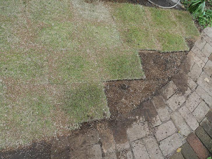 姫高麗芝生を植えた。2020年-9.jpg