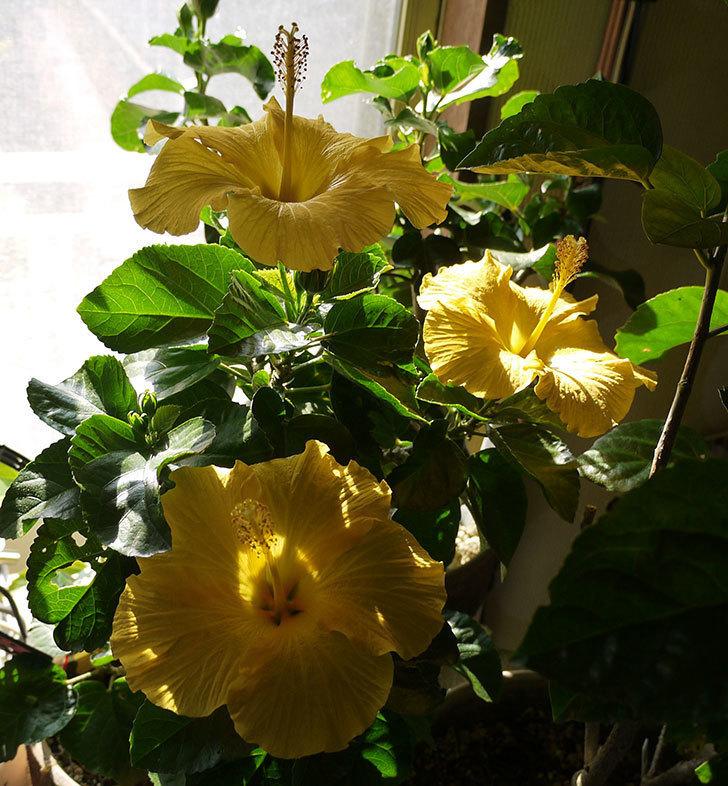 室内に取り込んだサマーブリーズ-カシミアウィンドが3個咲いた。2016年-1.jpg