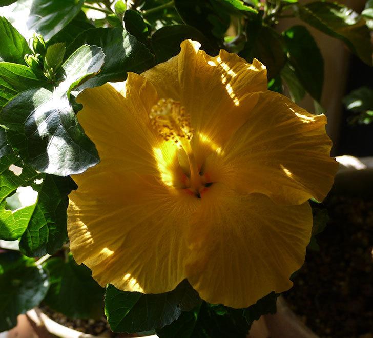 室内に取り込んだサマーブリーズ-カシミアウィンドが3個咲いた。2016年-2.jpg