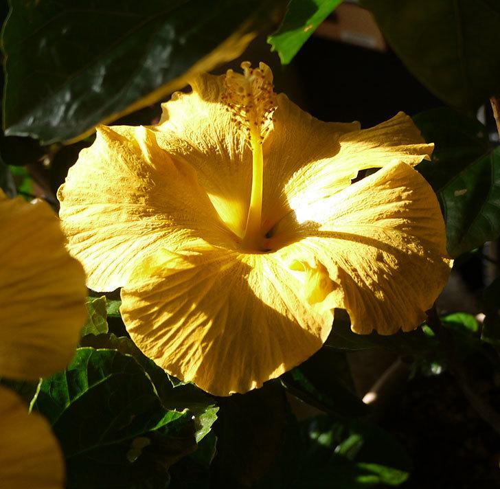 室内に取り込んだサマーブリーズ-カシミアウィンドが3個咲いた。2016年-4.jpg