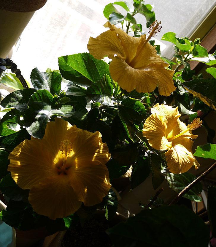 室内に取り込んだサマーブリーズ-カシミアウィンドが3個咲いた。2016年-5.jpg