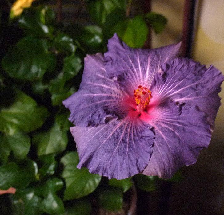 室内に取り込んだハイビスカス-サニーが2個咲いた。2016年-4.jpg