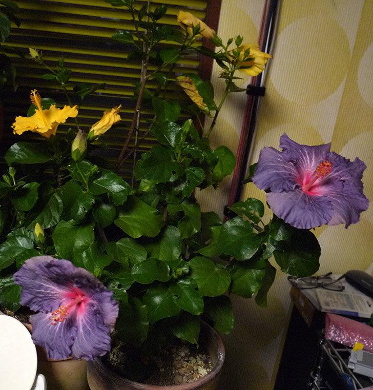 室内に取り込んだハイビスカス-サニーが2個咲いた。2016年-6.jpg