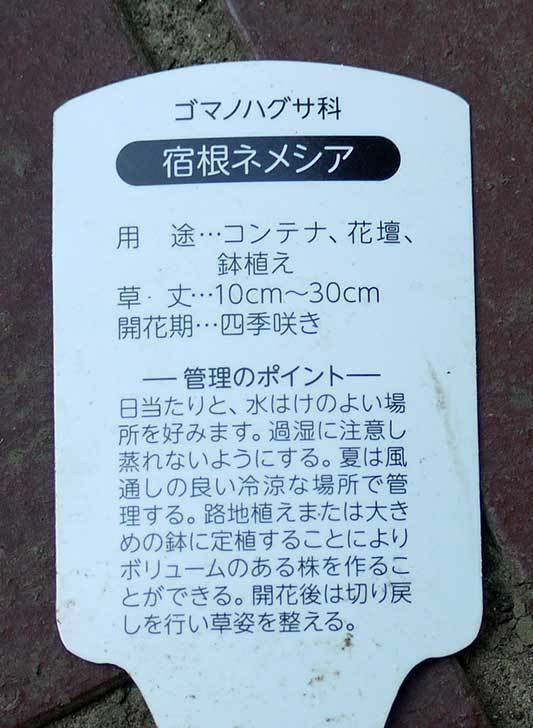 宿根ネメシアがホームズで50円だったので買って来た。2016年-5.jpg