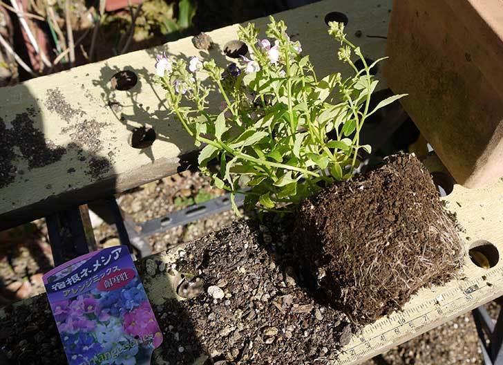 宿根ネメシアを鉢に植えた。2016年-2.jpg