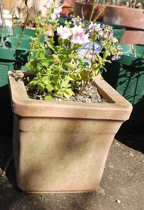 宿根ネメシアを鉢に植えた。2016年-7.jpg