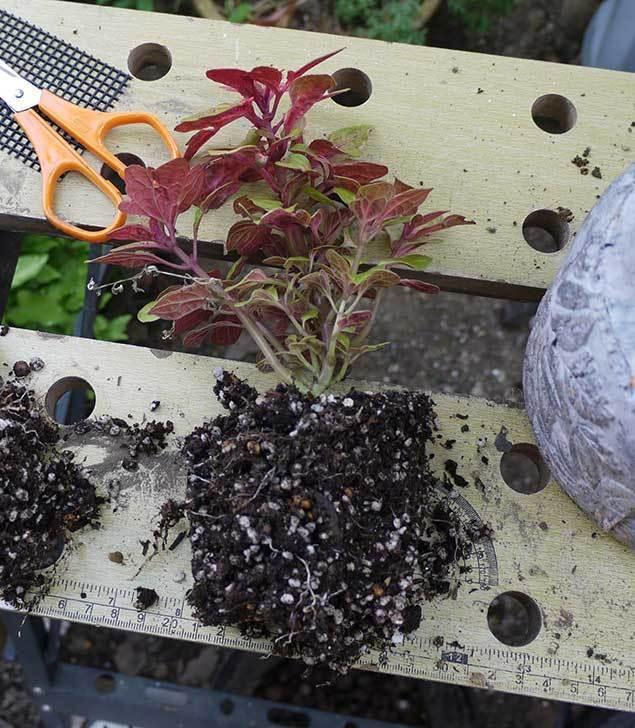 寄せ植えで買ったコリウスを鉢に植えた。2015年-2.jpg