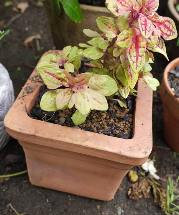 寄せ植えで買ったコリウスを鉢に植えた。2015年-3.jpg