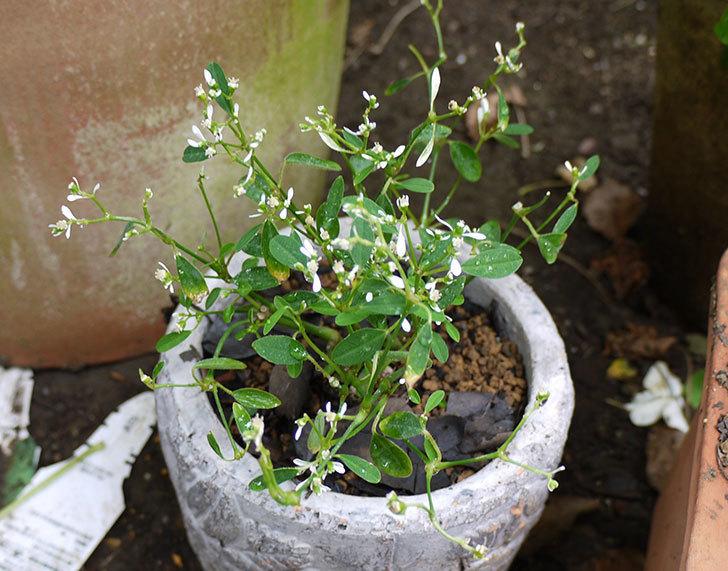 寄せ植えで買ったユーフォルビアを鉢に植えた。2015年-1.jpg
