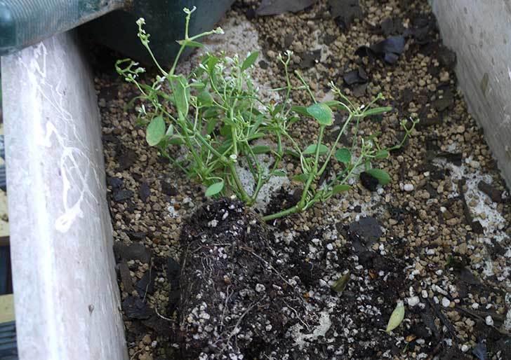 寄せ植えで買ったユーフォルビアを鉢に植えた。2015年-2.jpg