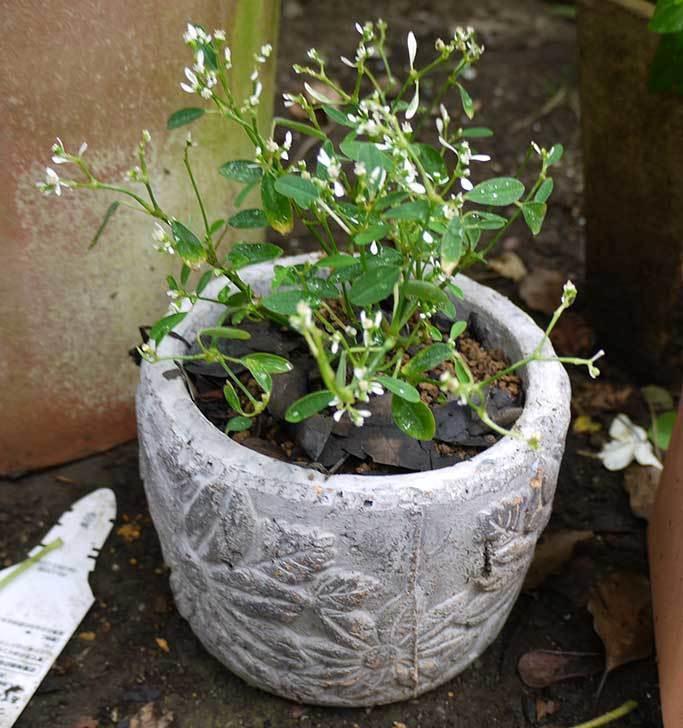 寄せ植えで買ったユーフォルビアを鉢に植えた。2015年-3.jpg
