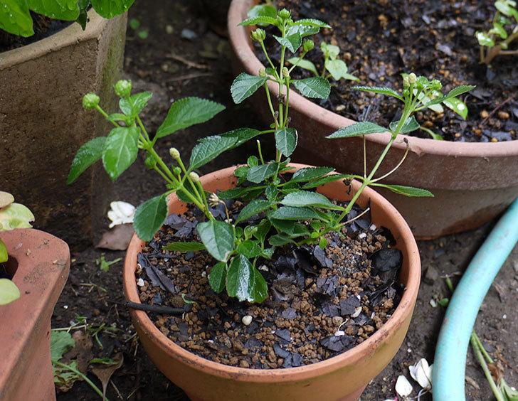寄せ植えで買った黄色のランタナを鉢に植えた。2015年-1.jpg