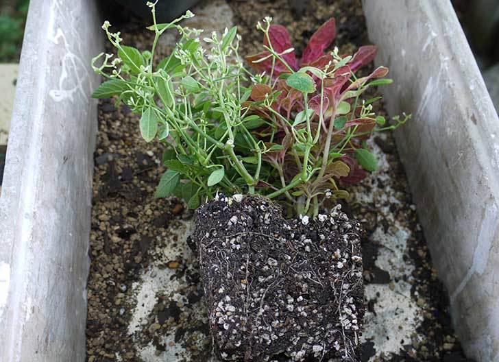 寄せ植えで買った黄色のランタナを鉢に植えた。2015年-2.jpg
