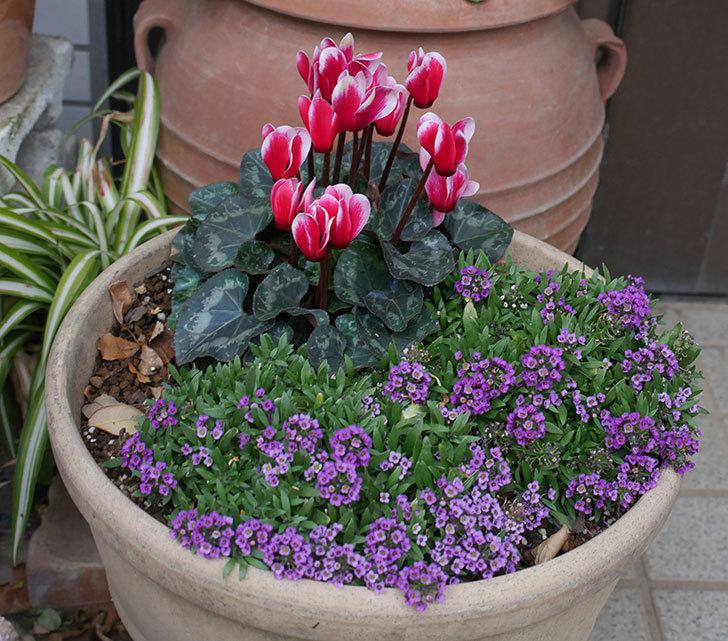寄せ植えのガーデンシクラメンが綺麗に咲いた。2020年-10.jpg