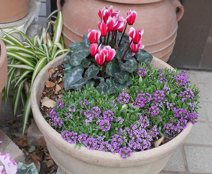 寄せ植えのガーデンシクラメンが綺麗に咲いた。2020年-12.jpg