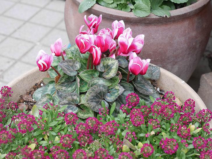 寄せ植えのガーデンシクラメンが綺麗に咲いた。2020年-6.jpg