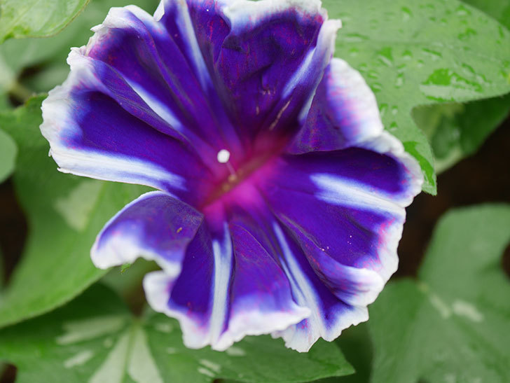 富士の紫の花が咲いた。2020年-003.jpg