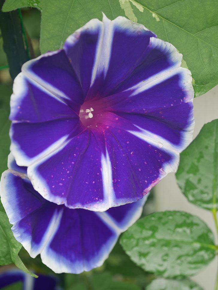 富士の紫の花が複数咲いた。2020年-003.jpg