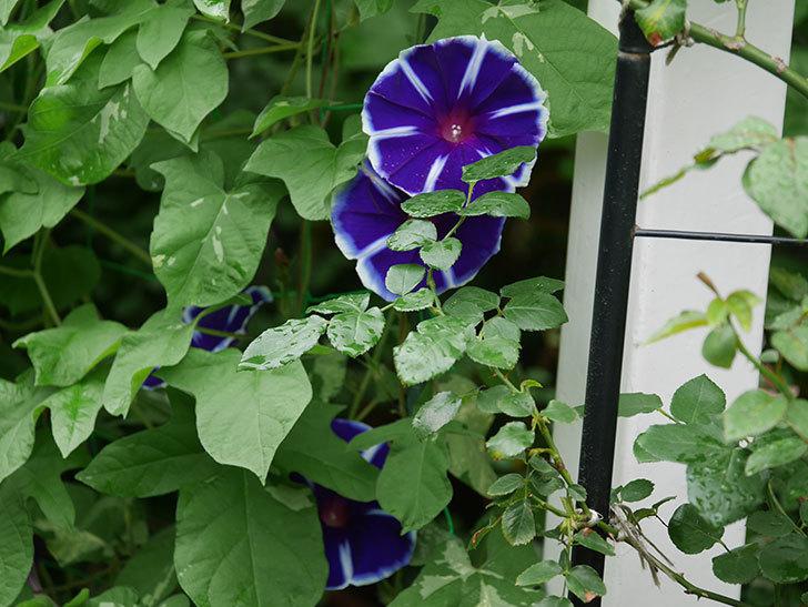富士の紫の花が複数咲いた。2020年-008.jpg