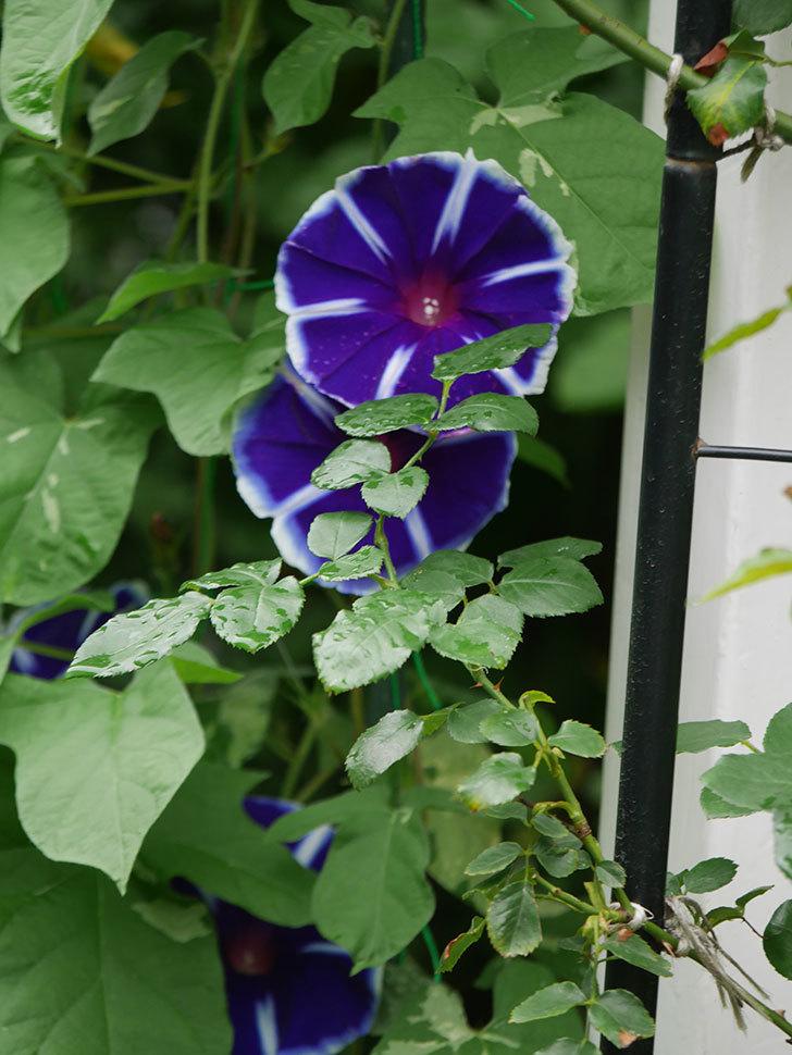 富士の紫の花が複数咲いた。2020年-009.jpg