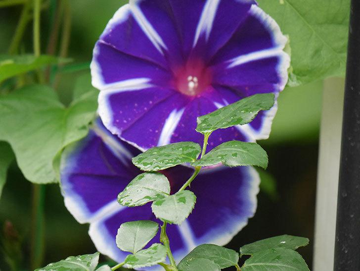 富士の紫の花が複数咲いた。2020年-010.jpg