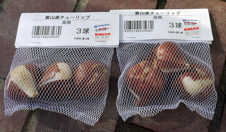 富山産チューリップ-金魚の球根をケイヨーデイツーで買って来た1.jpg