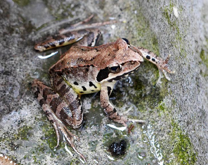 庭にカエルがいた。2017年-1.jpg