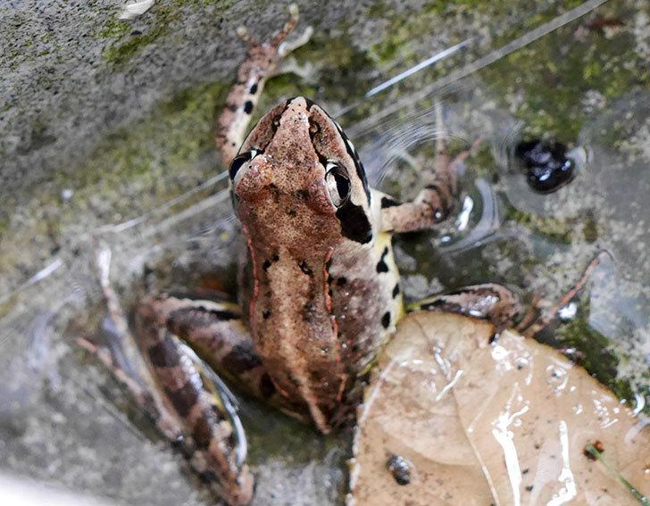 庭にカエルがいた。2017年-3.jpg