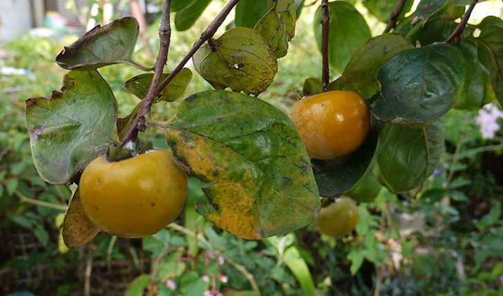 庭の柿の木の実が黄色くなってきた1.jpg