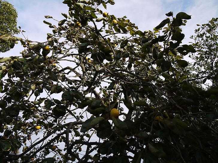 庭の柿の木の実が黄色くなってきた3.jpg