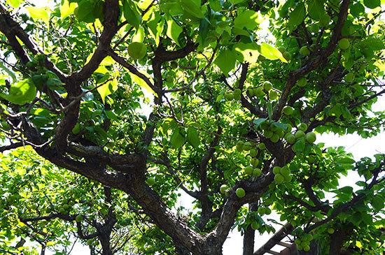 庭の梅の木から梅を収穫した1.jpg
